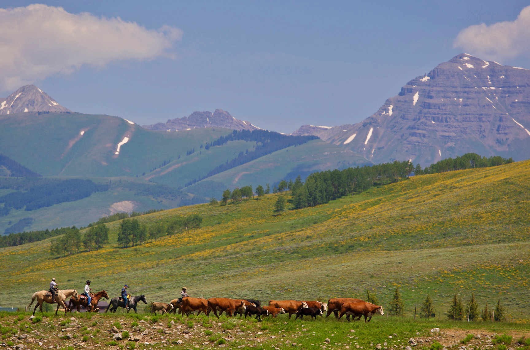 Cattle Drive, Crested Butte, CO