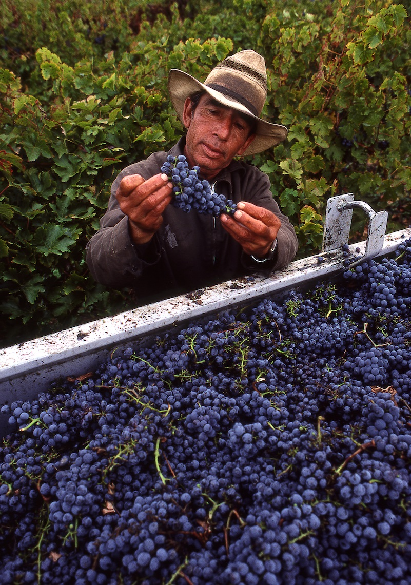 Grape Harvest at Robert Mondavi Winery, Napa Valley