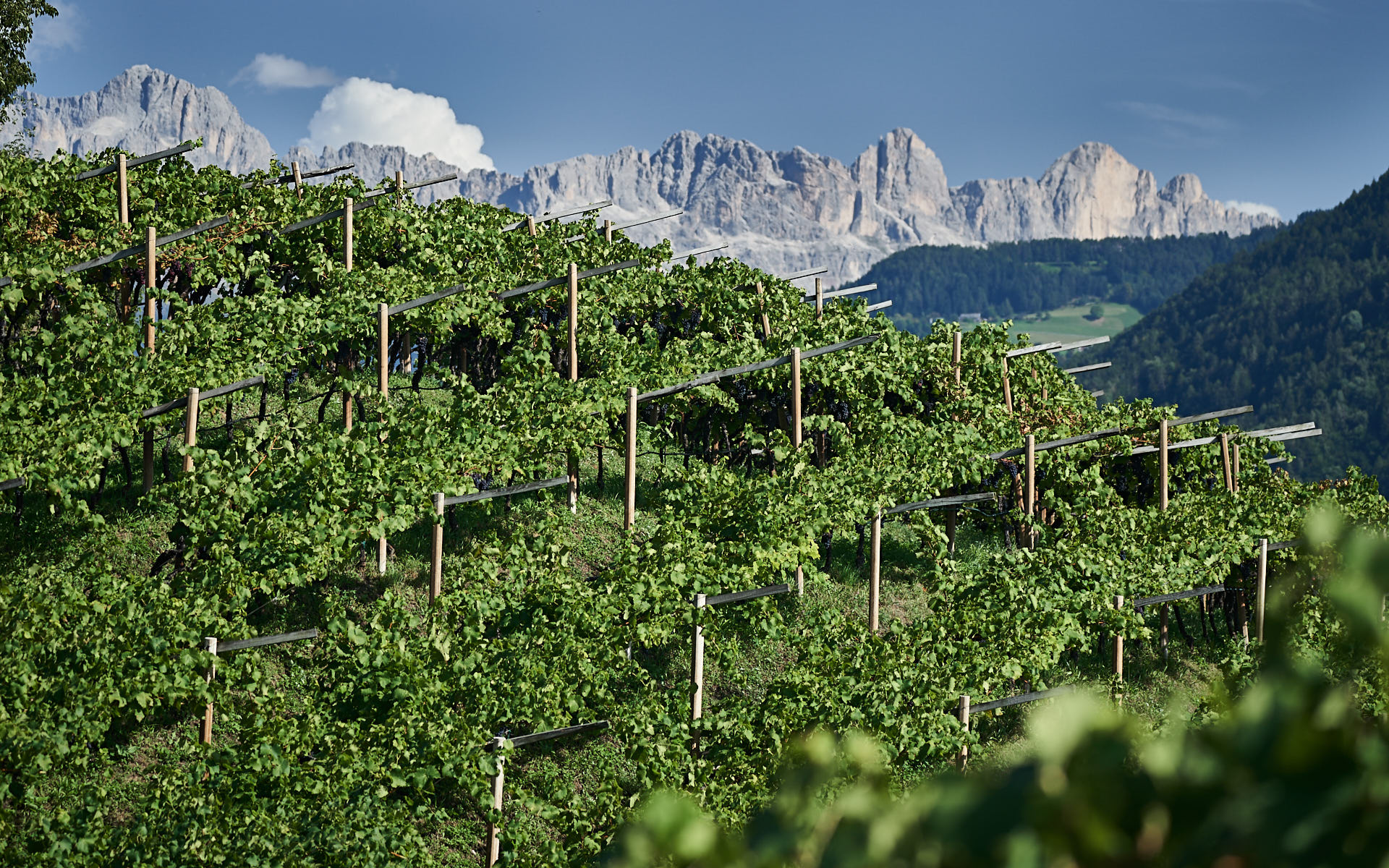 Vineyard in the Dolomites